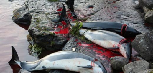 Nouveaux massacres aux îles Féroé : 228 dauphins abattus